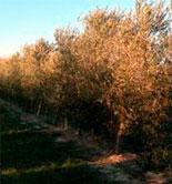 Aragón estudia el control de plagas de insectos en el olivar