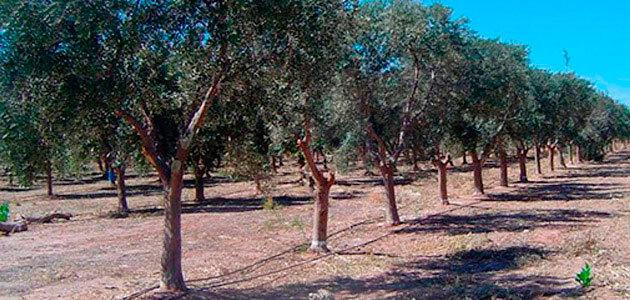 Andalucía y Argentina intercambian experiencias sobre formación e investigación en el cultivo del olivar