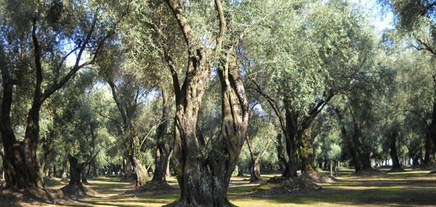 La industria oleícola italiana advierte de los 'graves daños' para el sector si EEUU aplica aranceles al aceite de oliva