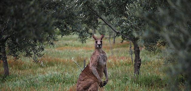 Australia mantendrá su producción de aceite de oliva en 22.000 t. la próxima campaña