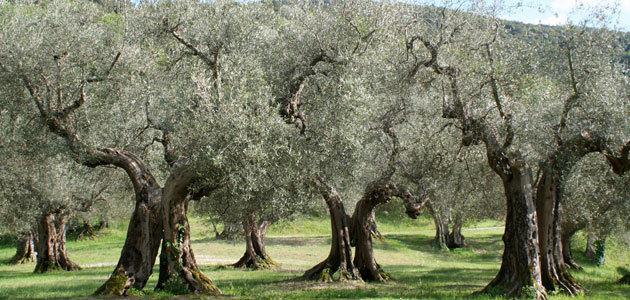 GEN4OLIVE o cómo acelerar el aprovechamiento de los recursos genéticos del olivo