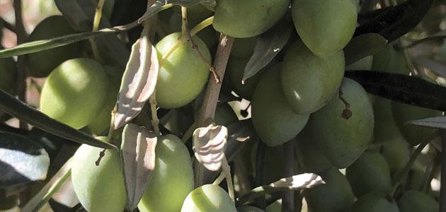 Bangladesh debuta en la producción de aceite de oliva