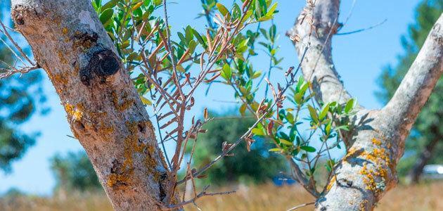 Investigan cómo lograr un bioplaguicida sostenible y eficaz contra la Xylella fastidiosa
