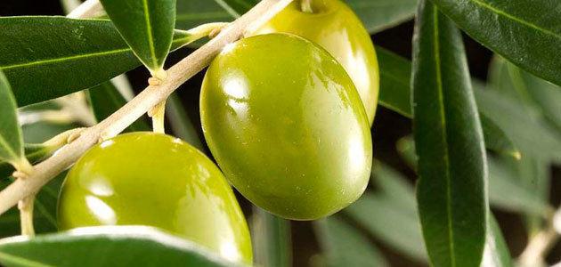 Determinan la factibilidad de la producción de aceite de oliva en el área metropolitana de Buenos Aires
