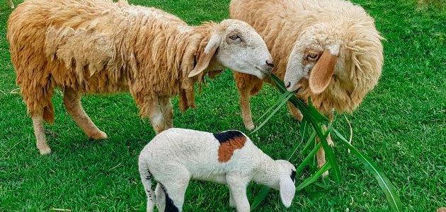 Reciclar subproductos agroindustriales como el orujo de aceituna para la alimentación animal