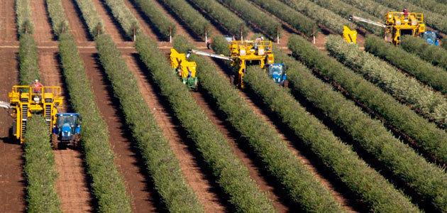 California prevé una producción de aceite de oliva inferior a 9,5 millones de litros