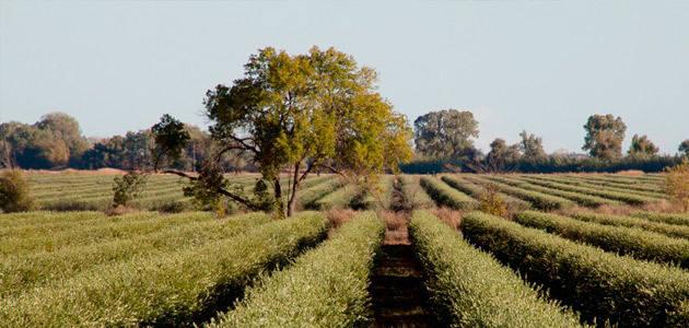 El futuro de la industria oleícola de California, a debate en un simposium en la UC Davis