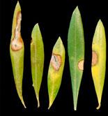 Detectada una nueva enfermedad en los olivares de California