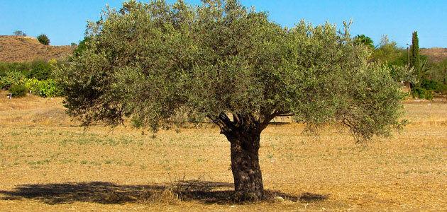 La adaptación del cultivo del olivar a escenarios de cambio climático