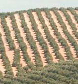 Cooperativas Agro-alimentarias de Jaén anima a las cooperativas a molturar en común en la próxima campaña oleícola