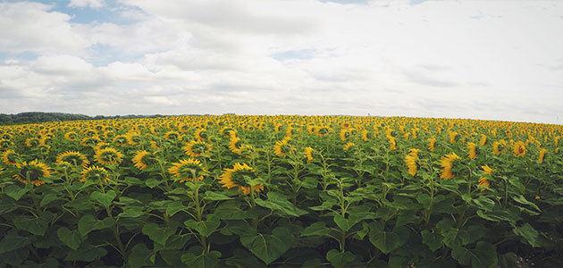 La caída de los aceites vegetales lastra los precios de los alimentos, según la FAO