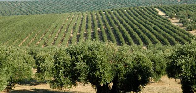 La superficie de olivar retoma su tendencia al alza y registra un ligero incremento del 0,4%