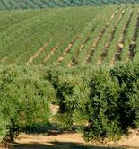 Análisis preliminar del estudio internacional sobre costes de producción en el aceite de oliva