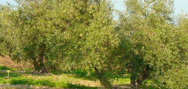 Un modelo de riego sostenible del olivar mediante el uso de aguas regeneradas