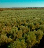 La UC Davis acogerá un simposium sobre aceite de oliva en enero de 2017