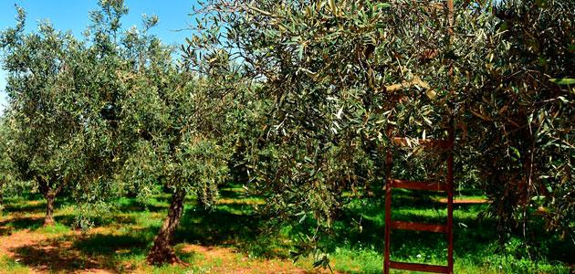 La superficie de olivar en España mantiene su tendencia al alza y registra un incremento del 1,75% en 2018