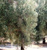 El COI y el Ciheam cooperarán en el desarrollo sostenible del olivo