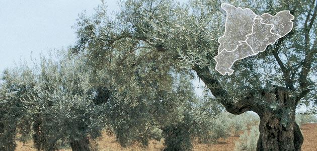La superficie de olivar ecológico en Cataluña aumentó un 2,93% en 2019