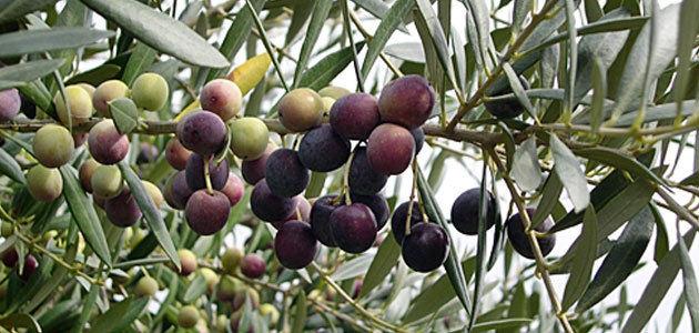 Cataluña prevé que la producción de aceite de oliva descienda un 15% esta campaña