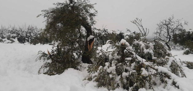 La FCAC, UP y las DOPs reclaman un plan de recuperación para los olivos afectados por Filomena