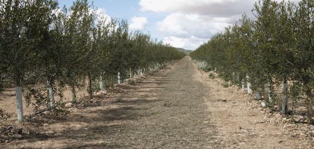 La cátedra Agritech divulga los beneficios del cultivo supertintensivo de olivar en seto