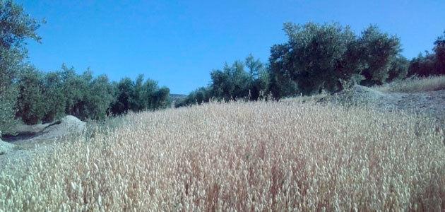 Sostenible y rentable: así debe ser la diversificación de cultivos en el olivar