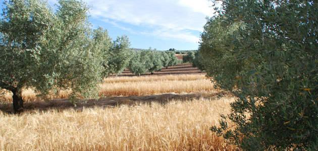 Comienza la recogida de la primera cosecha de cebada entre olivos como proyecto para mejorar la captación de agua en cultivos