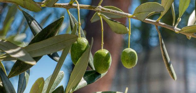 Bruselas prevé un stock final de campaña de 497.697 t. de aceite de oliva en la UE