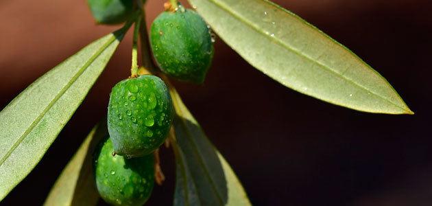 El mercado del aceite de oliva español protagoniza la clausura del V Curso de Olivicultura de la UPM