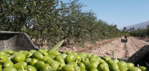 Argentina contará con un Centro Federal Olivícola
