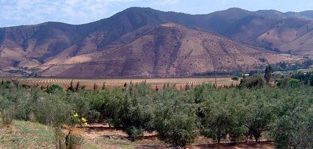 La producción chilena de aceite de oliva se ha incrementado un 33% en los últimos cinco años