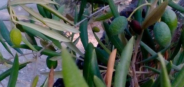 COAG-Jaén cree que las últimas lluvias no logran solucionar el grave problema de sequía del olivar