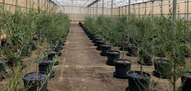 La UCO y el COI colaboran en un proyecto sobre el olivar saludable