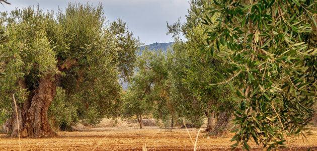Buenos datos de comercialización de aceite de oliva al inicio de campaña