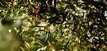 La producción de aceite de oliva europea se sitúa en 350.858 t. en los primeros meses de campaña