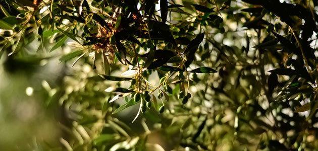 La producción europea de aceite de oliva se sitúa en 108.993 t. en el primer mes de campaña