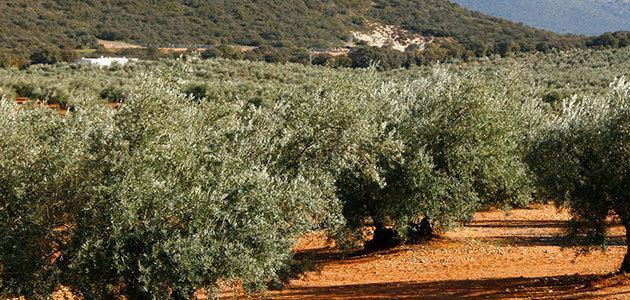 El Consejo Andaluz del Olivar se reunirá el viernes para analizar la caída de precios del aceite