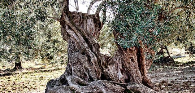El Consejo Provincial del Aceite aprueba medidas para contribuir a elevar el precio del aceite de oliva