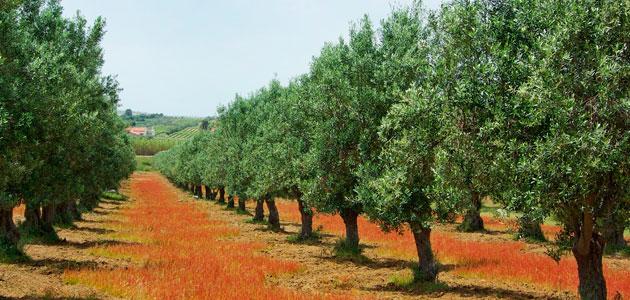 La evolución del sector del aceite de oliva en Portugal