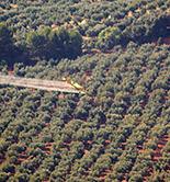 Citoliva e Inoleo invitan a participar en una encuesta sobre la mosca del olivo
