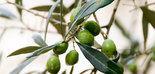 Las cooperativas oleícolas solicitan al MAPA la incorporación del aceite de oliva en las medidas de crisis