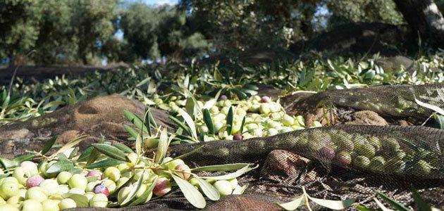 Los bajos rendimientos marcan el inicio de campaña en Jaén, según Cooperativas Agro-alimentarias