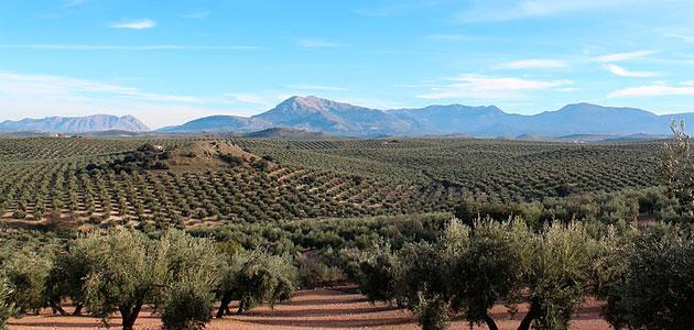 ¿Cuánto cuesta producir un kilo de aceite de oliva en Jaén?