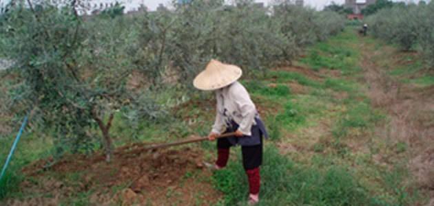 La UPM clausura este viernes su IV Curso de Olivicultura con una jornada sobre el olivar en China