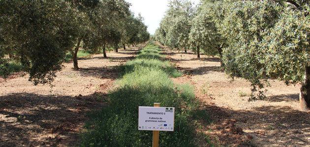 Un proyecto constata los beneficios de la implantación de cubiertas vegetales de especies nativas en olivar