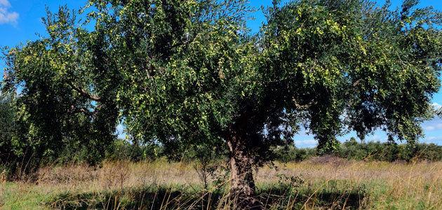 Dcoop evalúa la herramienta para el olivar diseñada por el proyecto europeo MED-GOLD