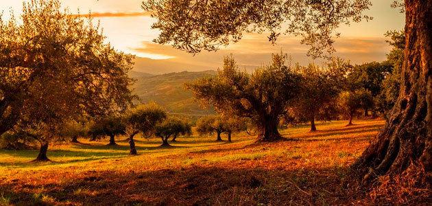 La Unesco declara el 26 de noviembre Día Mundial del Olivo