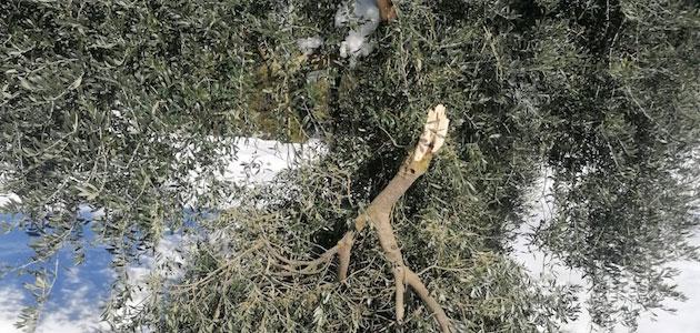 Un total de 3.500 hectáreas de la DOP Siurana, dañadas por las nevadas