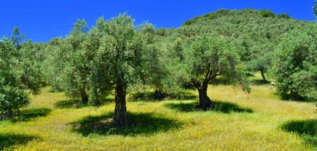 Ecotrama celebrará la cata del concurso entre olivares ecológicos