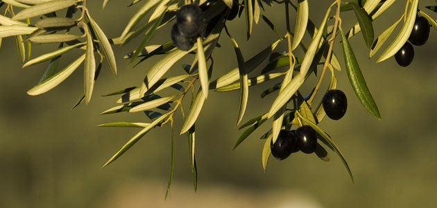 Andalucía anuncia nuevas medidas para proteger al sector de la aceituna de mesa